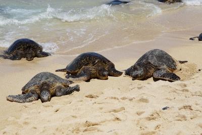 Honu giant Hawaiian green sea turtles