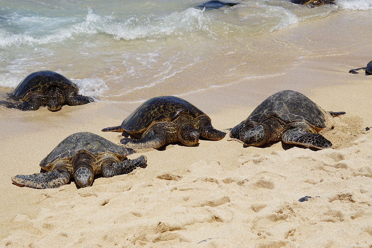 Honu giant Hawaiian green sea turtles